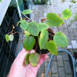 Begonia schulzei - jetzt ganz neu