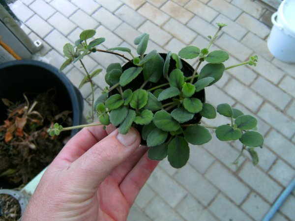 Episcia dianthiflora - jetzt neu bei uns