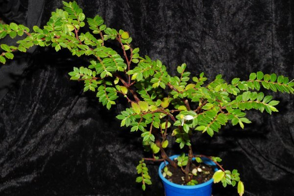 Begonia foliosa