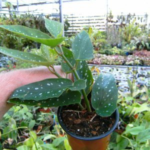Jetzt verfügbar. Begonia Maculata