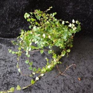 Ficus pumilla mini