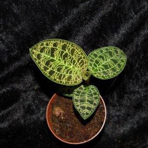 Macodes petula