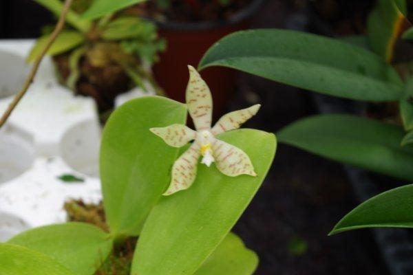 Phalaenopsis pallens Blüte