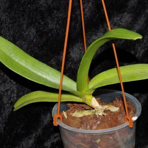 Rhyncostylis gigantea Orange