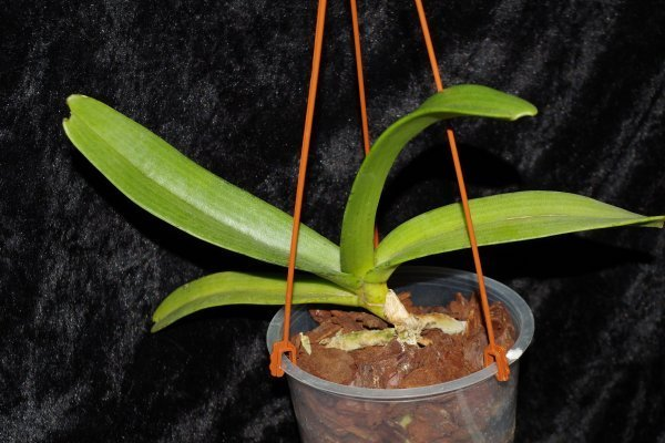 Rhyncostylis gigantea Orange